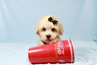 Teacup Maltipoo Puppies Available For Sale in Las Vegas / Henderson