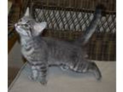 Adopt Mitchell a Domestic Short Hair