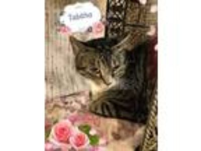 Adopt Tabitha a American Shorthair, Tabby