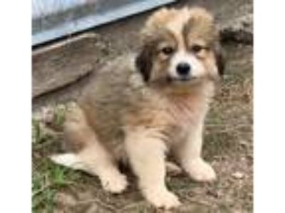 Adopt Benny a Brown/Chocolate - with White Anatolian Shepherd / Mixed dog in