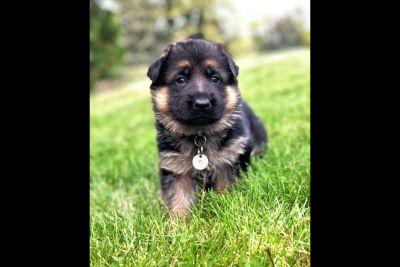 100% German Shepherd Dog Puppies