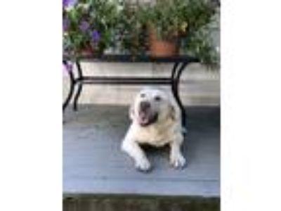 Adopt Colt a Tan/Yellow/Fawn Labrador Retriever / German Shepherd Dog / Mixed