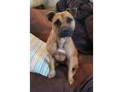 Adopt Francis a American Staffordshire Terrier / Black Mouth Cur / Mixed dog in