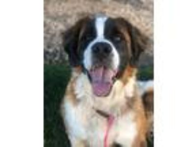 Adopt Oden a White St. Bernard / Mixed dog in Caldwell, ID (25928718)
