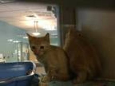 Adopt WILLOW a Orange or Red Tabby Domestic Shorthair / Mixed (short coat) cat