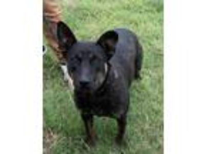 Adopt Tabitha a Black Shepherd (Unknown Type) / Mixed dog in Bartlesville