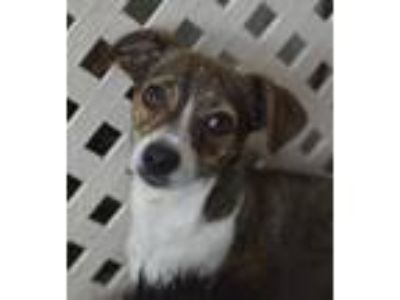 Adopt Idgie a Brindle - with White Whippet / Dachshund / Mixed dog in Santa Ana