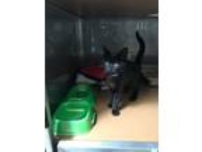 Adopt Nola a All Black Domestic Shorthair / Mixed cat in Oakland, CA (25931623)