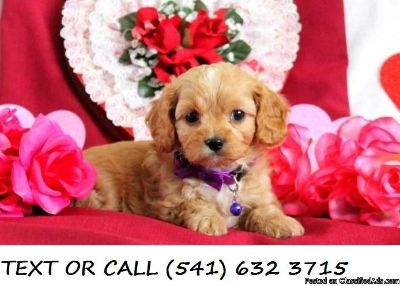 CCCD(#!*^)Quick Cavalier King Charles Spaniel Puppies