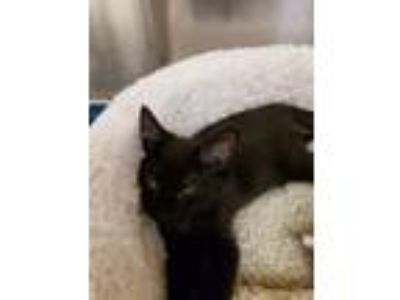 Adopt Midnight a American Shorthair
