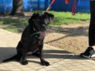 Adopt MAISEY a Black German Shepherd Dog / Labrador Retriever / Mixed dog in