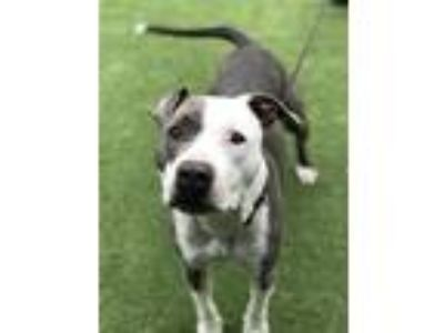Adopt King a American Pit Bull Terrier / Mixed dog in Oceanside, CA (25850431)