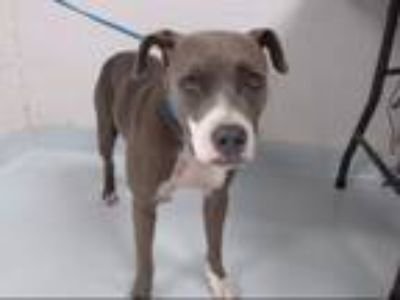 Adopt ALLIE a Staffordshire Bull Terrier, Mixed Breed