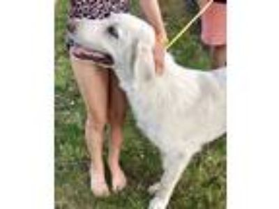 Adopt Baxter a White Golden Retriever / Great Pyrenees dog in Mesquite