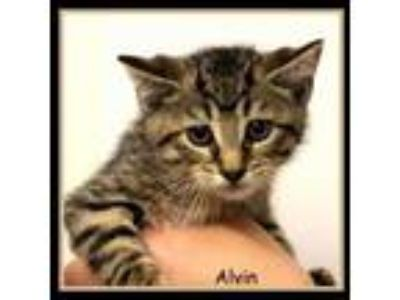 Adopt Alvin a All Black Domestic Shorthair / Domestic Shorthair / Mixed cat in