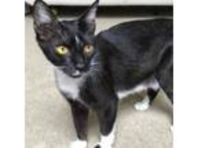Adopt Cocoa a Domestic Short Hair