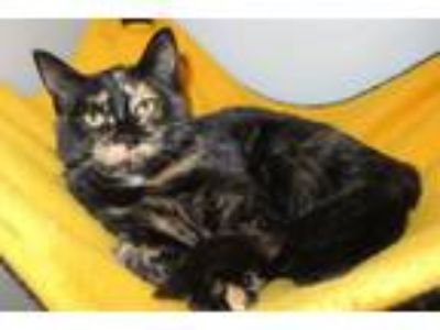 Adopt Belize a Domestic Short Hair