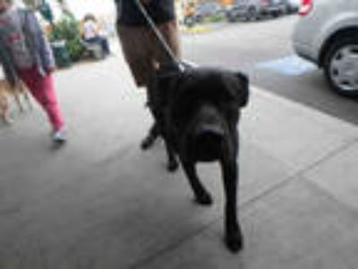 Adopt BUSTER a Black Mixed Breed (Medium) / Labrador Retriever / Mixed dog in