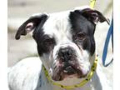 Adopt SCOTTY a White - with Black American Pit Bull Terrier / Mixed dog in New