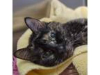 Adopt Jinxy a All Black Domestic Shorthair / Domestic Shorthair / Mixed cat in