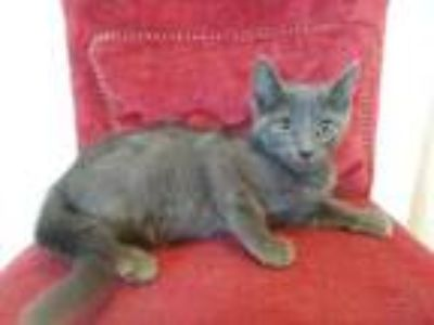 Adopt Boris a Gray or Blue Domestic Shorthair / Domestic Shorthair / Mixed cat