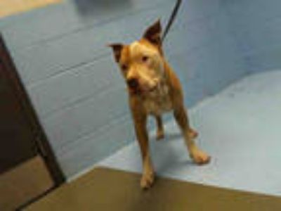 Adopt HADLEY a Tan/Yellow/Fawn - with White American Pit Bull Terrier / Mixed