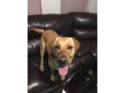 Adopt Tex a Tan/Yellow/Fawn Labrador Retriever / Mixed dog in Plano