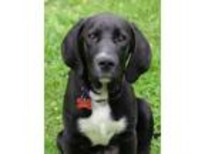 Adopt Puppy Max a Labrador Retriever, Pointer