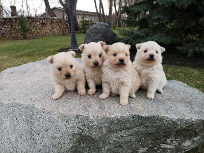 Tiny Pomapoo Puppy