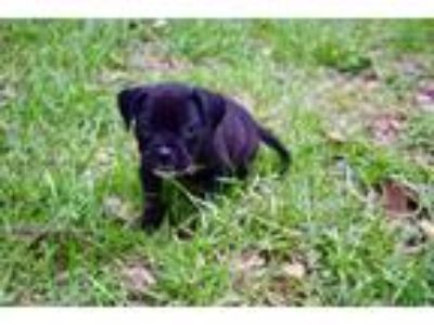Adopt Zippy a Black Terrier (Unknown Type, Small) / Mixed dog in Columbia