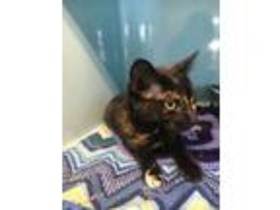 Adopt Hazel a Domestic Short Hair