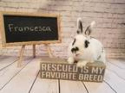 Adopt Francesca a Multi Other/Unknown / Mixed (short coat) rabbit in Columbus