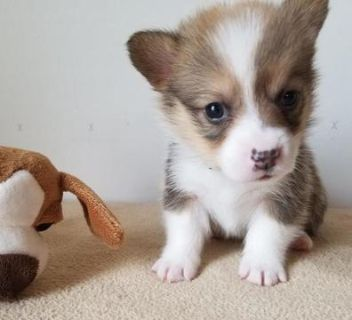 Pembroke Welsh Corgi PUPPY FOR SALE ADN-92790 - AKC Pembroke Welsh Corgi Pups