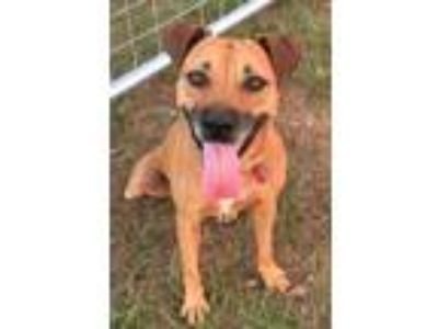 Adopt Reina a Black Mouth Cur