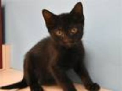 Adopt Gary a Domestic Shorthair / Mixed cat in Portland, OR (25625797)