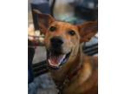 Adopt Duke a Tan/Yellow/Fawn Labrador Retriever / German Shepherd Dog / Mixed