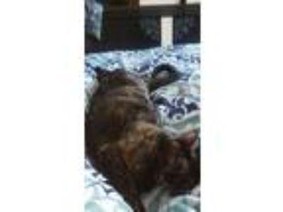 Adopt Pocahontas a Tortoiseshell Domestic Shorthair / Mixed cat in Plantation