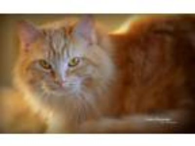 Adopt Ginger a Domestic Medium Hair