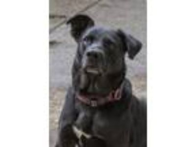 Adopt Simon a Labrador Retriever, Mixed Breed