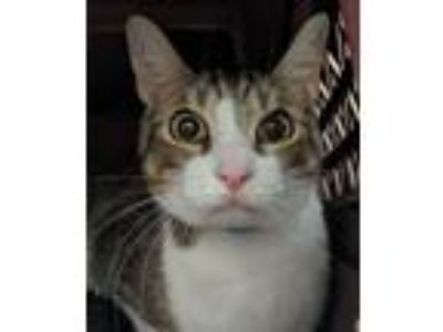 Adopt Damon a Brown Tabby Domestic Shorthair / Mixed (short coat) cat in Redwood
