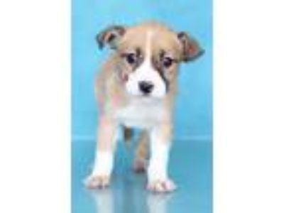 Adopt Octavia a Tan/Yellow/Fawn - with White Pointer / Hound (Unknown Type) /