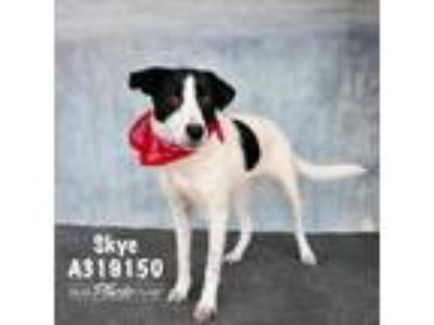 Adopt SKYE a Black - with White Border Collie / Mixed dog in Conroe
