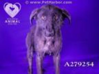 Adopt A279254 a Border Collie, Mixed Breed