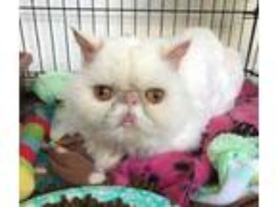 Adopt Catsy Cline a White Persian / Domestic Shorthair / Mixed cat in Baltimore