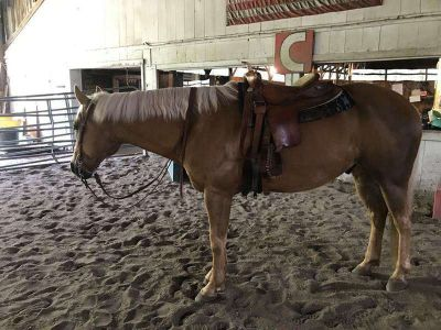 Beautiful Golden Palomino Gelding Q.H. 6 Year Old
