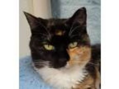 Adopt Tortie a Domestic Short Hair, Tortoiseshell