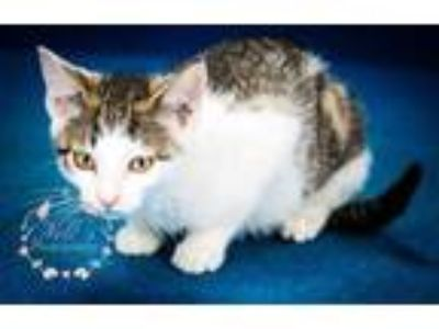 Adopt Butterfinger-060116M a Gray or Blue Domestic Mediumhair / Domestic