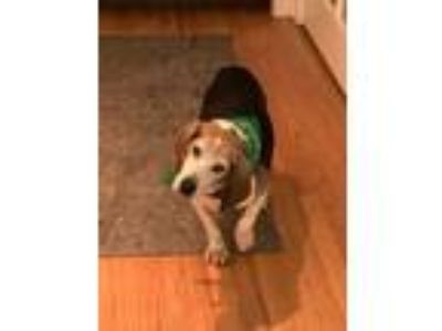 Adopt James a Tricolor (Tan/Brown & Black & White) Beagle / Mixed dog in