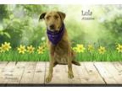 Adopt Dog a Labrador Retriever, Catahoula Leopard Dog