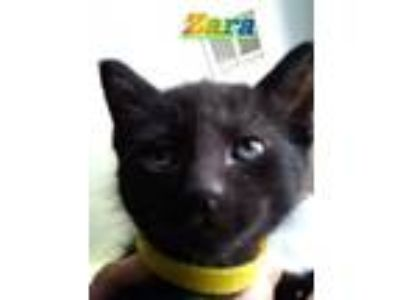 Adopt Zara a Domestic Short Hair